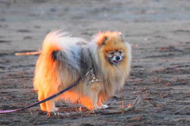 お散歩ワンコ@湘南・鵠沼海岸 #湘南 #藤沢 #海 #波 #wave #surfing #mysky #sea #犬 #animal  #dog