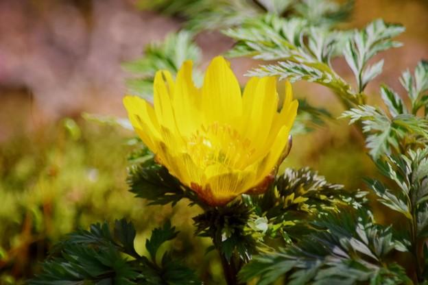 福寿草@海蔵寺 #湘南 #鎌倉 #kamakura #寺 #temple #mysky #花 #flower