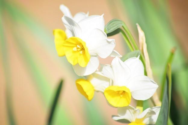 日本水仙@海蔵寺 #湘南 #鎌倉 #kamakura #寺 #temple #mysky #花 #flower