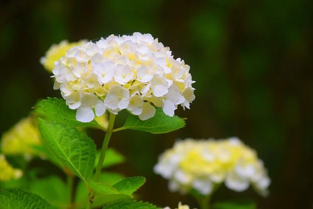 光則寺の紫陽花 #kamakura #鎌倉 #temple #flower #花 #寺 #hydrangea #紫陽花