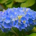 咲きはじめた光則寺の紫陽花 #kamakura #鎌倉 #temple #flower #花 #寺 #hydrangea #紫陽花