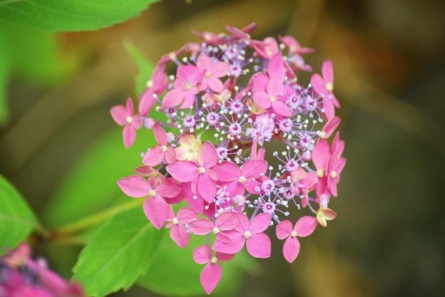 満天星@光則寺 #kamakura #鎌倉 #temple #flower #花 #寺 #hydrangea #紫陽花