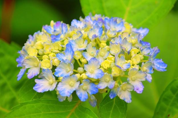 有松@光則寺 #kamakura #鎌倉 #temple #flower #花 #寺 #hydrangea #紫陽花