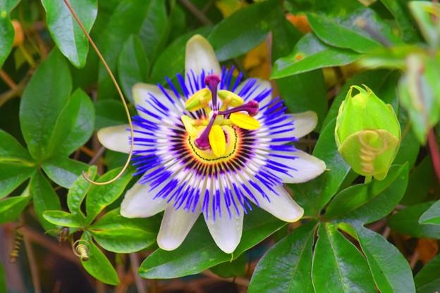 光則寺の時計草 #kamakura #鎌倉 #temple #flower #花 #寺