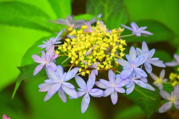 木沢の光@光則寺 #kamakura #鎌倉 #temple #flower #花 #寺 #hydrangea #紫陽花