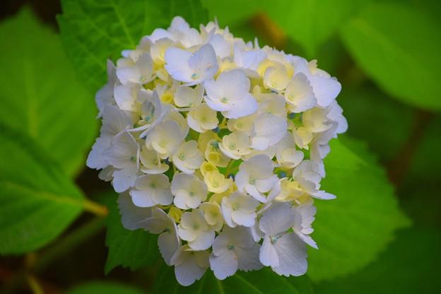 中津峡大手毬@光則寺 #kamakura #鎌倉 #temple #flower #花 #寺 #hydrangea #紫陽花