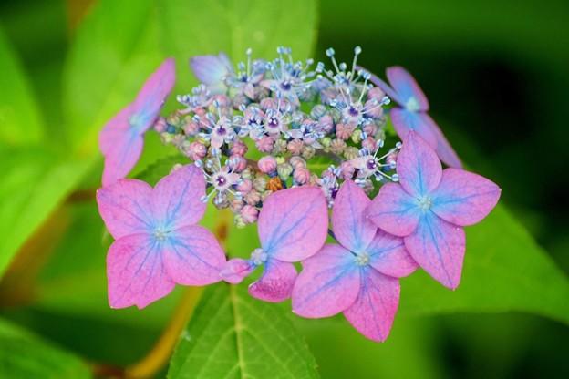 藍姫@光則寺 #kamakura #鎌倉 #temple #flower #花 #寺 #hydrangea #紫陽花