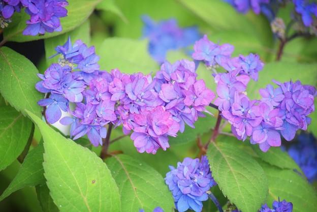 八重の花吹雪@光則寺 #kamakura #鎌倉 #temple #flower #花 #寺 #hydrangea #紫陽花