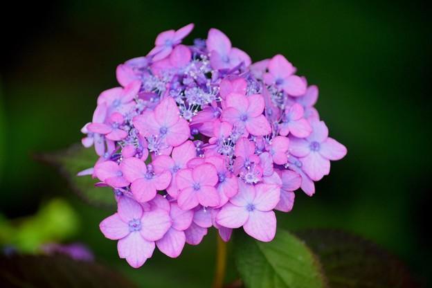 虹丸@光則寺 #kamakura #鎌倉 #temple #flower #花 #寺 #hydrangea #紫陽花