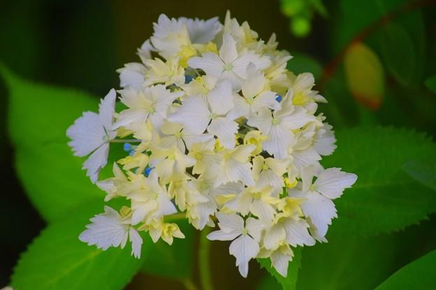 光則寺の花吹雪 #kamakura #鎌倉 #temple #flower #花 #寺 #hydrangea #紫陽花