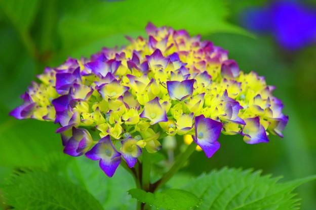 咲きはじめの紫陽花@光則寺 #kamakura #鎌倉 #temple #flower #花 #寺 #hydrangea #紫陽花