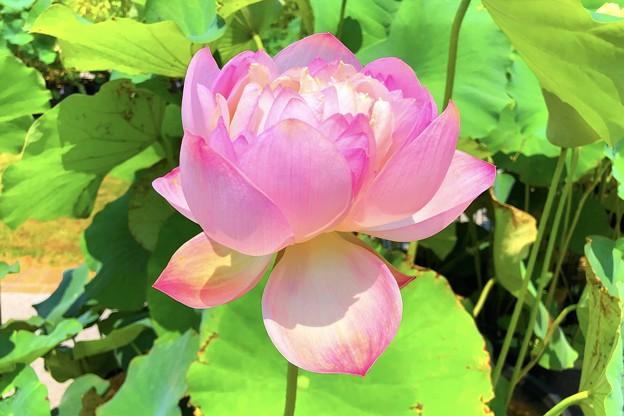日比谷花壇大船フラワーセンターの大賀蓮 #鎌倉 #大船 #花 #大賀蓮 #lotus #flower #kamakura #日比谷花壇