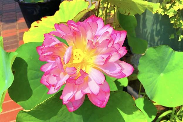 八重の蓮 #鎌倉 #大船 #花 #大賀蓮 #lotus #flower #kamakura #日比谷花壇