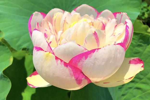 咲き誇る八重の蓮 #鎌倉 #大船 #花 #大賀蓮 #lotus #flower #kamakura #日比谷花壇