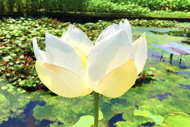 白い大賀蓮 #鎌倉 #大船 #花 #大賀蓮 #lotus #flower #kamakura #日比谷花壇