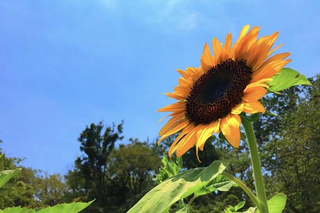 夏空と向日葵 #鎌倉 #大船 #花 #向日葵 #sunflower #flower #kamakura #日比谷花壇