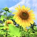 燦燦と咲く向日葵 #鎌倉 #大船 #花 #向日葵 #sunflower #flower #kamakura #日比谷花壇