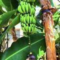 バナナの実と花 #鎌倉 #大船 #花 #flower #kamakura #日比谷花壇