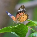 Photos: ツマグロヒョウモン #箱根 #hakone #mysky #shrine #神社 #butterfly #蝶