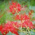 Photos: やっと開花した東慶寺の彼岸花 #湘南 #鎌倉 #寺 #花 #kamakura #temple #flower