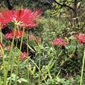 Photos: 異常気象で開花が遅れた彼岸花 #湘南 #鎌倉 #寺 #花 #kamakura #temple #flower