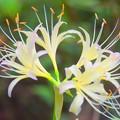 Photos: 白彼岸花@東慶寺 #湘南 #鎌倉 #寺 #花 #kamakura #temple #flower