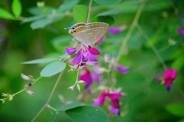 シジミチョウと萩@東慶寺 #湘南 #鎌倉 #寺 #花 #kamakura #temple #flower #butterfly #蝶