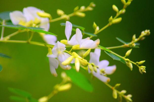 東慶寺の白萩 #湘南 #鎌倉 #寺 #花 #kamakura #temple #flower