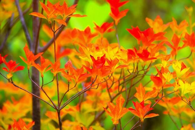 満天星躑躅の紅葉@東慶寺 #湘南 #鎌倉 #寺 #花 #kamakura #temple #flower #紅葉