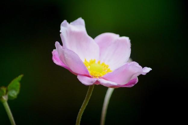 秋明菊@東慶寺 #湘南 #鎌倉 #寺 #花 #kamakura #temple #flower