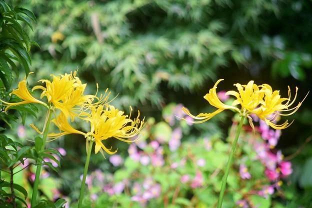 黄色の彼岸花@報国寺 #湘南 #鎌倉 #寺 #花 #kamakura #temple #flower