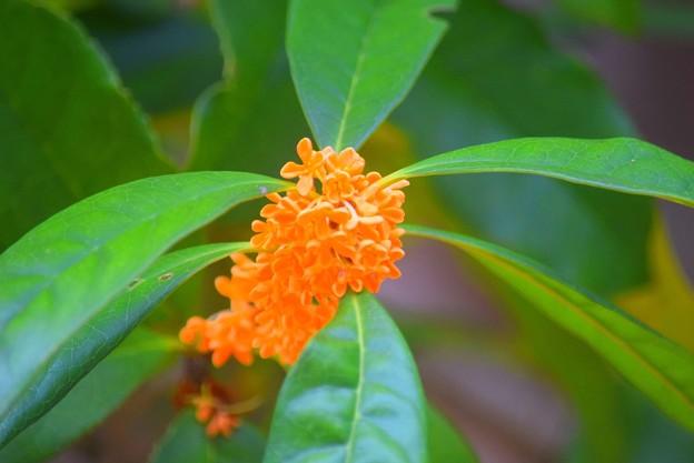 報国寺の金木犀 #湘南 #鎌倉 #寺 #花 #kamakura #temple #flower