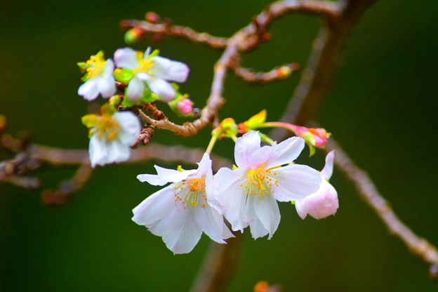 報国寺の十月桜 #湘南 #鎌倉 #寺 #花 #kamakura #temple #flower
