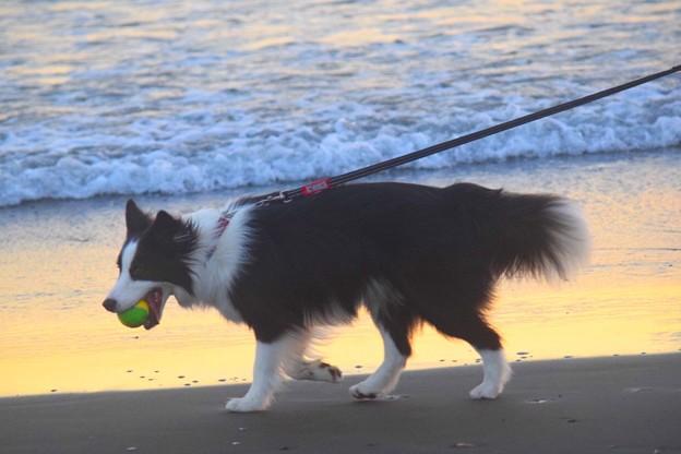 お散歩ワンコ@湘南・鵠沼海岸 #湘南 #藤沢 #海 #波 #wave #surfing #sea #animal #犬 #dog