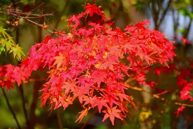 Photos: 円覚寺の紅葉 #鎌倉 #湘南 #寺 #kamakura #北鎌倉 #temple #紅葉 #花 #flower #autumnleaves #円覚寺