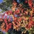 Photos: 色づき始めた円覚寺の紅葉 #鎌倉 #湘南 #寺 #kamakura #北鎌倉 #temple #紅葉 #花 #flower #autumnleaves #円覚寺