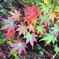 Photos: 色とりどりの紅葉@円覚寺 #鎌倉 #湘南 #寺 #kamakura #北鎌倉 #temple #紅葉 #花 #flower #autumnleaves #円覚寺