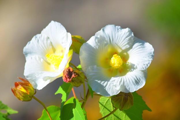 円覚寺の酔芙蓉 #鎌倉 #湘南 #寺 #kamakura #北鎌倉 #temple #紅葉 #花 #flower #autumnleaves #円覚寺
