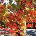 Photos: 高徳院の紅葉 #湘南 #鎌倉 #寺 #紅葉 #autumnleaves #temple