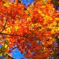 Photos: 色づく紅葉@高徳院 #湘南 #鎌倉 #寺 #紅葉 #autumnleaves #temple