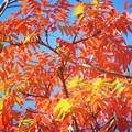 Photos: 七竈の紅葉@高徳院 #湘南 #鎌倉 #寺 #紅葉 #autumnleaves #temple