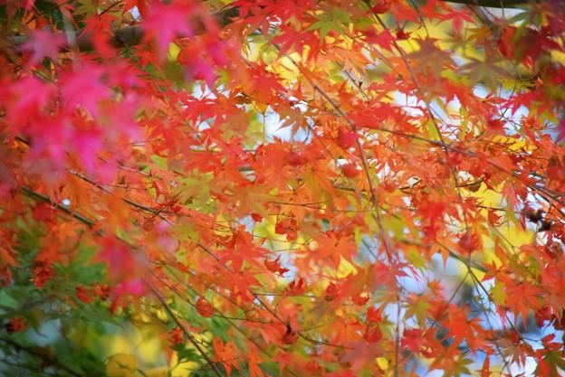 Photos: 安国論寺の紅葉 #湘南 #鎌倉 #kamakura #寺 #temple #autumnleaves #紅葉 #黄葉 #mysky