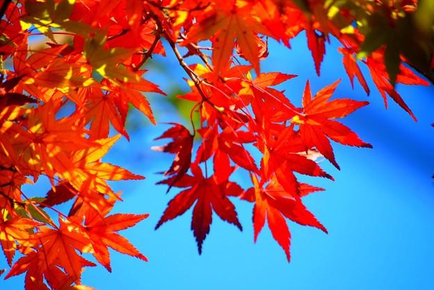 色鮮やかな安国論寺の紅葉 #湘南 #鎌倉 #kamakura #寺 #temple #autumnleaves #紅葉 #黄葉 #mysky