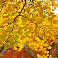 Photos: 銀杏の黄葉@安国論寺 #湘南 #鎌倉 #kamakura #寺 #temple #autumnleaves #紅葉 #黄葉 #mysky