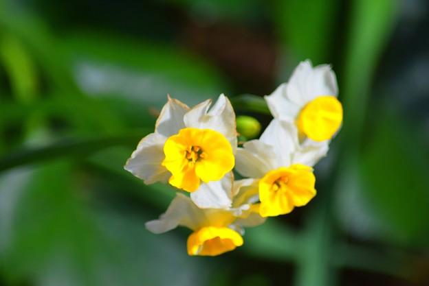 安国論寺の水仙 #湘南 #鎌倉 #kamakura #寺 #temple #autumnleaves #紅葉 #花 #flower