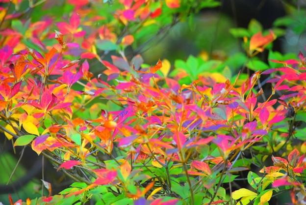 満天星躑躅の紅葉@安国論寺 #湘南 #鎌倉 #kamakura #寺 #temple #autumnleaves #紅葉 #黄葉 #mysky