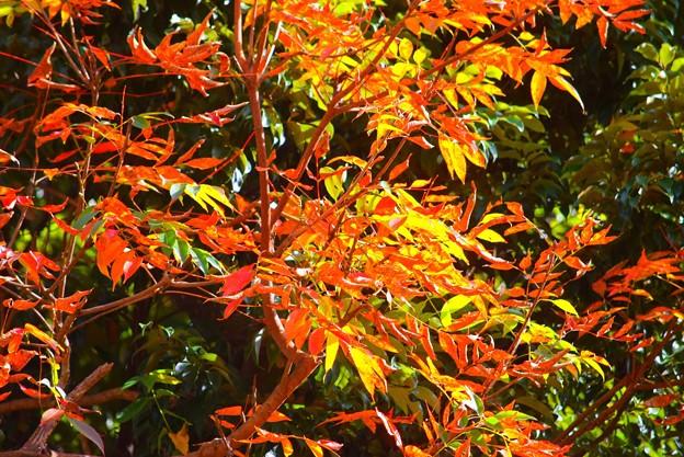 七竈の紅葉@安国論寺 #湘南 #鎌倉 #kamakura #寺 #temple #autumnleaves #紅葉 #黄葉 #mysky