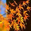 Photos: 赤く染まる妙本寺の紅葉 #湘南 #鎌倉 #kamakura #寺 #temple #紅葉 #autumnleaves #mysky
