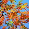 七竈の紅葉@妙本寺 #湘南 #鎌倉 #kamakura #寺 #temple #紅葉 #autumnleaves #mysky