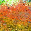 満天星躑躅の紅葉@妙本寺 #湘南 #鎌倉 #kamakura #寺 #temple #紅葉 #autumnleaves #mysky